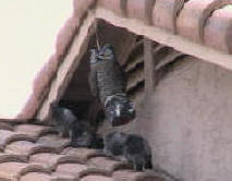 Owls don't work - pigeons roosting under an eave overhang