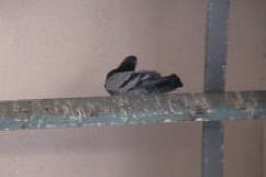 Pigeon roosting on a metal beam above a door way to hospital