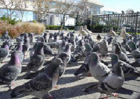 Large group of pigeon control on the ground looking for a handout